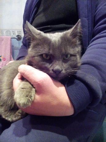 Найден молодой котик смесь породы Нибелунга