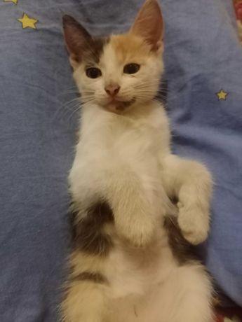 Кошечка трехмасная.