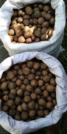 Мелкая картошка на корм животным