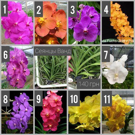 Сеянцы Ванд (орхидея, детка орхидеи)