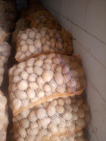 Ziemniaki sadzeniaki gala,lord