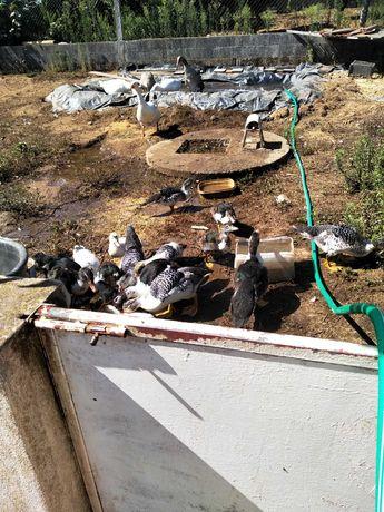 Patos caseiros e gansos