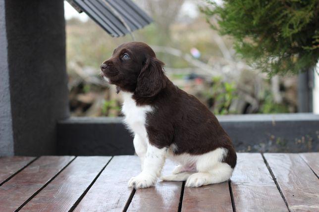 Piesek Munsterlander mały (wyżeł seter beagle)