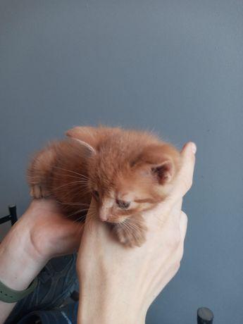 Oddam dwa rude kotki