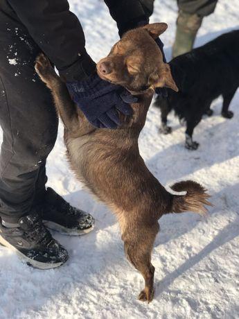 Czekolaowy, maly ok. 8 kg psiak do adopcji