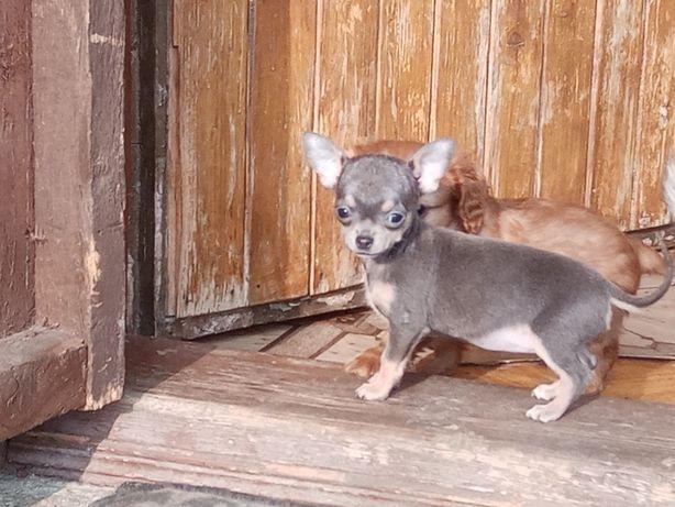 Chihuahua -mini niebieska suczka