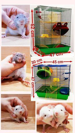 Крысы дамбо оптом и в розницу,крысята,крыски,декоративные крысята