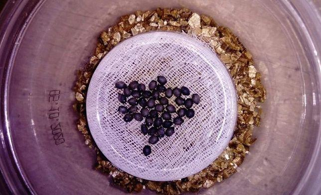 Jajka straszyk filipiński (sungaya inexpectata) 50 gr