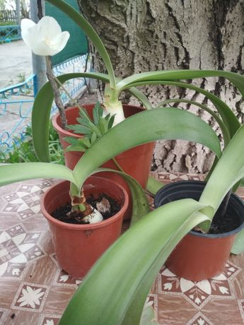 Гемантус- комнатное растения