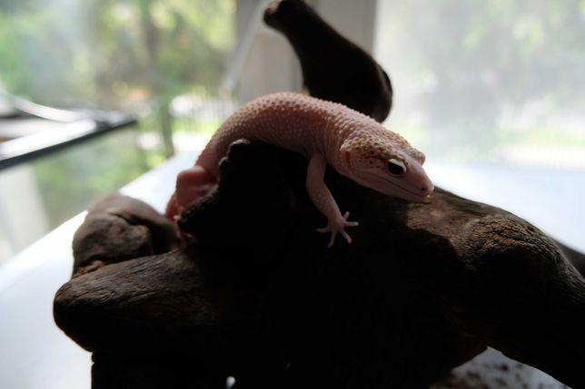 Gekon Lamparci Super Raptor - Jaszczurka dla początkujących