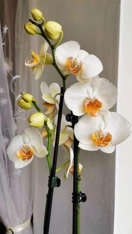 Орхидея, фаленопсис Дарвин, Darwin