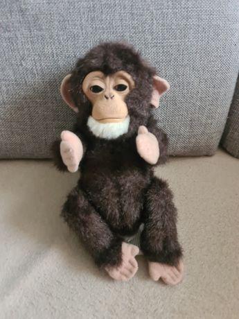 Mała małpka interaktywna