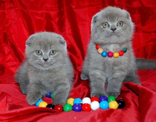 Короткошерстные плюшевые котята