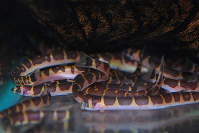 Piskorek Ciernioczek Kuhla 5-6 cm Sklep Zoologiczny ALTUM