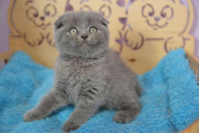 Голубой вислоушка котик.