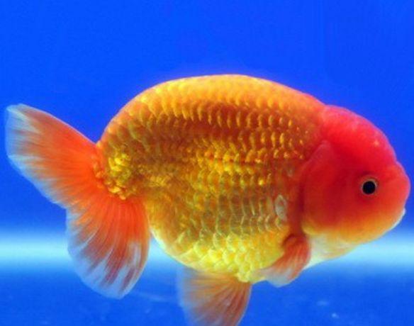 Золота рибка Ранчу (Ranchu)