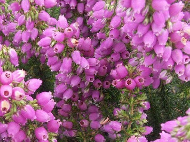 Wrzosiec bagienny, różne odmiany - 'erica tetralix' Mary, Alba,