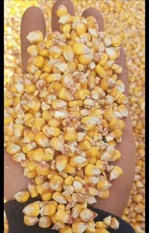 Кукуруза на корм