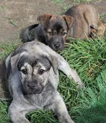Cachorros filas s. Miguel 2 meses doacao