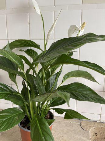 Planta de casa spathiphyllum ou lírio da paz