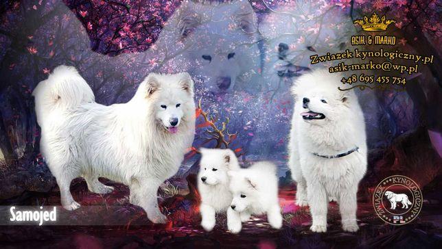 Samoyed Samojed- szczeniaki
