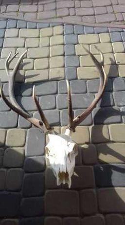 Dekoracja Piękne poroże jelenia