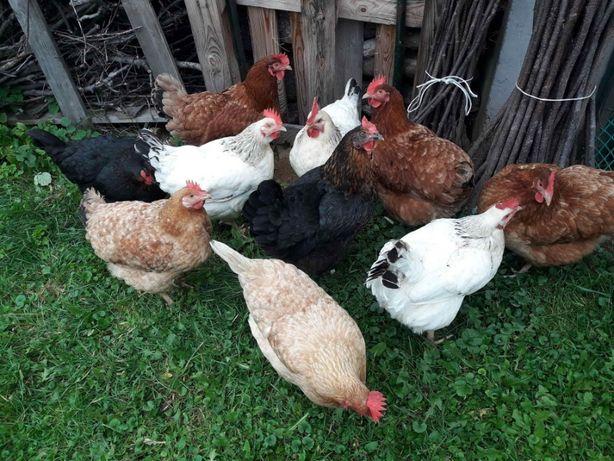 Jajka jaja od głaskanych i szczęśliwych kurek, wolny wybieg