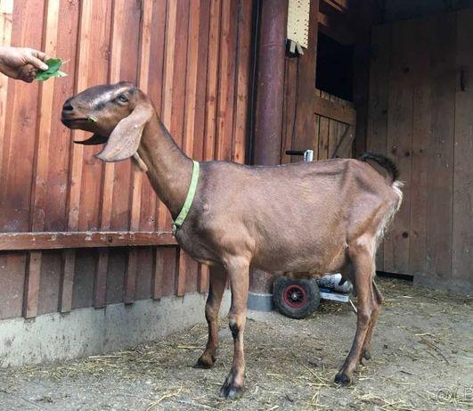 100% Anglonubijska kozka koza linia Hannibal
