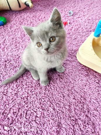 Шотландский котенок, кот, котята.