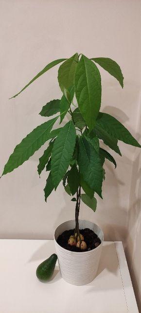 Саджанці авокадо (кущ/дерево)