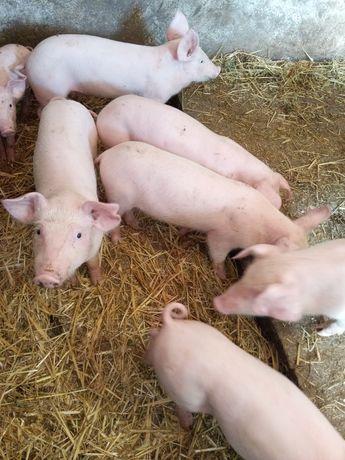 Продам поросят мясной породы Ландрас, 2 месяца, вес 15 кг