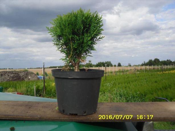 tuja danika w doniczce 2l zielona rosnąca kóla WYSYŁKA 24 H