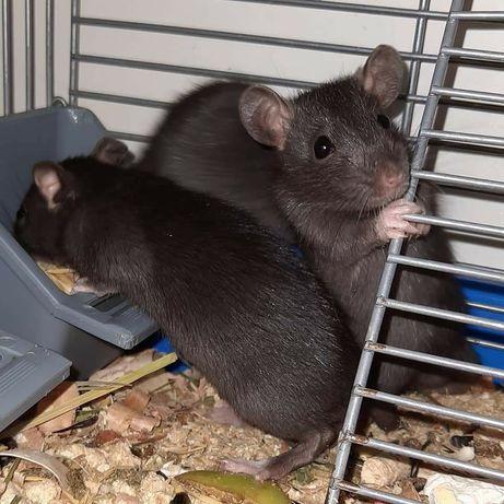 Крысята ручные 1месяц