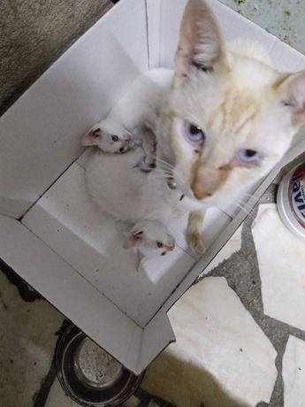 Gatinhos brancos com 2 meses
