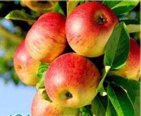 Саджанці яблунь (15 сортів)