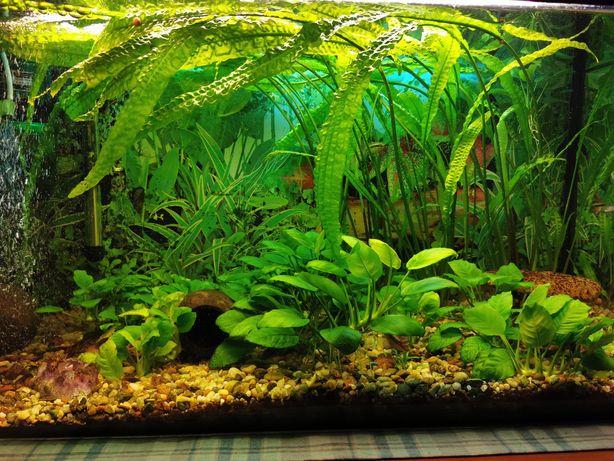 Sprzedam rośliny akwariowe tanio
