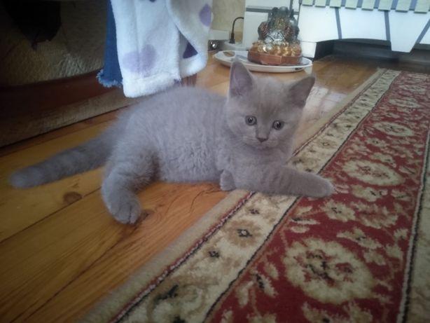 Шотландский плюшевый котёнок