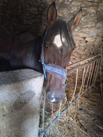 Vendo égua com 5 anos bem montada e engatada ideal para crianças