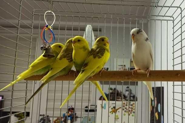 Papuga Falista młoda