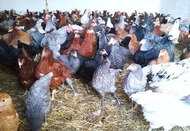 Młode kury,kurczaki odchowane,kurki nioski, dowóz podlaskie