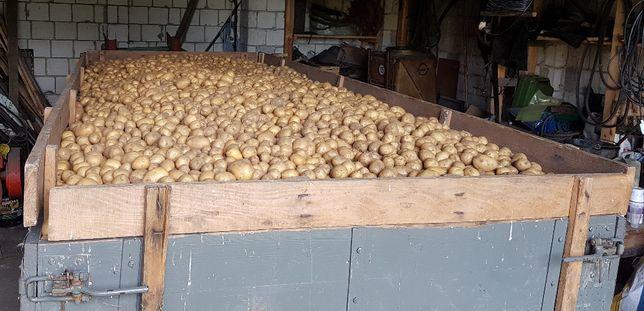 Ziemniaki odmiana Jelly i Tajfun (kartofle)