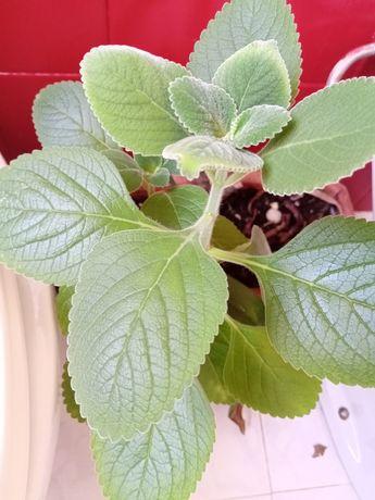 Planta natural Boldo, auxilia a digestão de gorduras