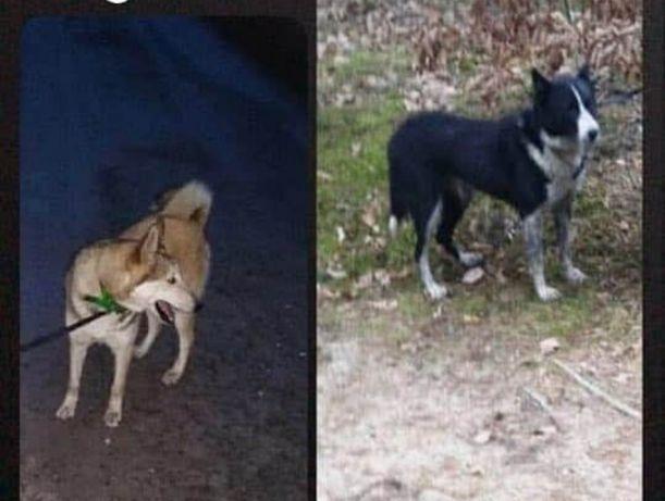 Skradziono dwa psy!