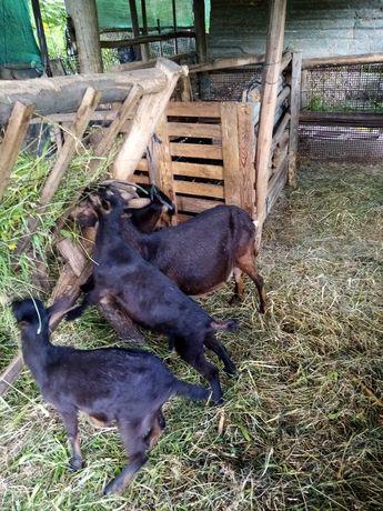 Vendo cabra parida com 2 cabritas