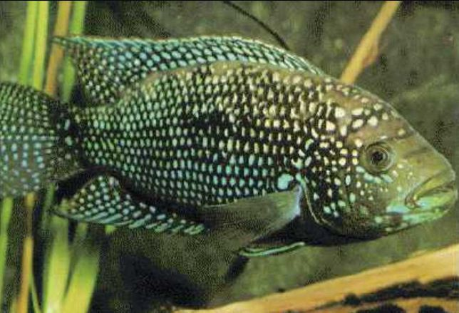Восьмиполосая цихлазома, обмен на мирную рыбу
