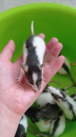 Szczurki standard polecam