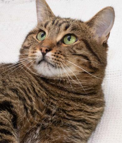 харизматичный полосатый добряк котик Цитрамон ( 4-5 лет)кастрирован