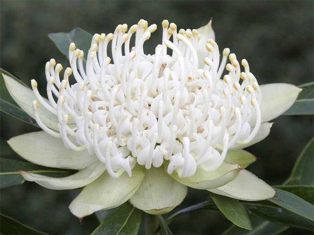 Telopea branca plantas