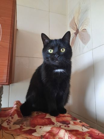Отдам чёрную кошку, стерилизована, 2 года