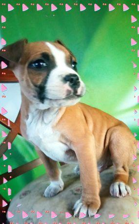 Amerrican staffordshire terrier junior